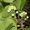 Smilax china (fruits s10).jpg