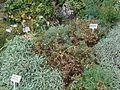 Smyrnium perfoliatum 2016-07-19 3175.jpg