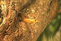 Snake peeping from a tree at Bannerghatta National Park, Bangalore.jpg