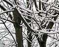 Snow covered branches.jpg