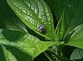 Snow leopard lady bug (710893302).jpg