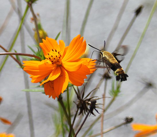 File:Snowberry clearwing moth (Photo 2 of 5), Springfield TN