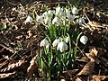 Snowdrops at Farnley Park. - geograph.org.uk - 119227.jpg