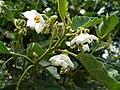 Solanum incompletum (4933171043).jpg