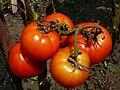 Solanum lycopersicum E1.jpg
