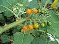 Solanum violaceum 02.JPG
