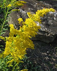 Solidago altissima with bee, 2020-09-22, Beechview, 03.jpg