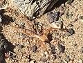 Solifugae 2005 Mongolia Gobi Desert.JPG