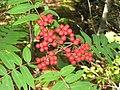 Sorbus americana 4-eheep (5098078576).jpg