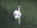 South Park, Ilford - Mute Swan (2012-07-14).png