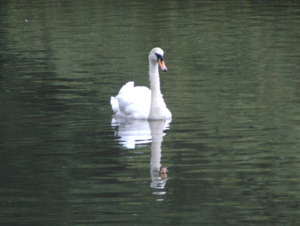 South Park, Ilford - Image: South Park, Ilford Mute Swan (2012 07 14)