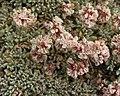 Southern Alpine Buckwheat (4975019504).jpg