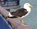 Southern black-backed gull 3 (31385784795).jpg