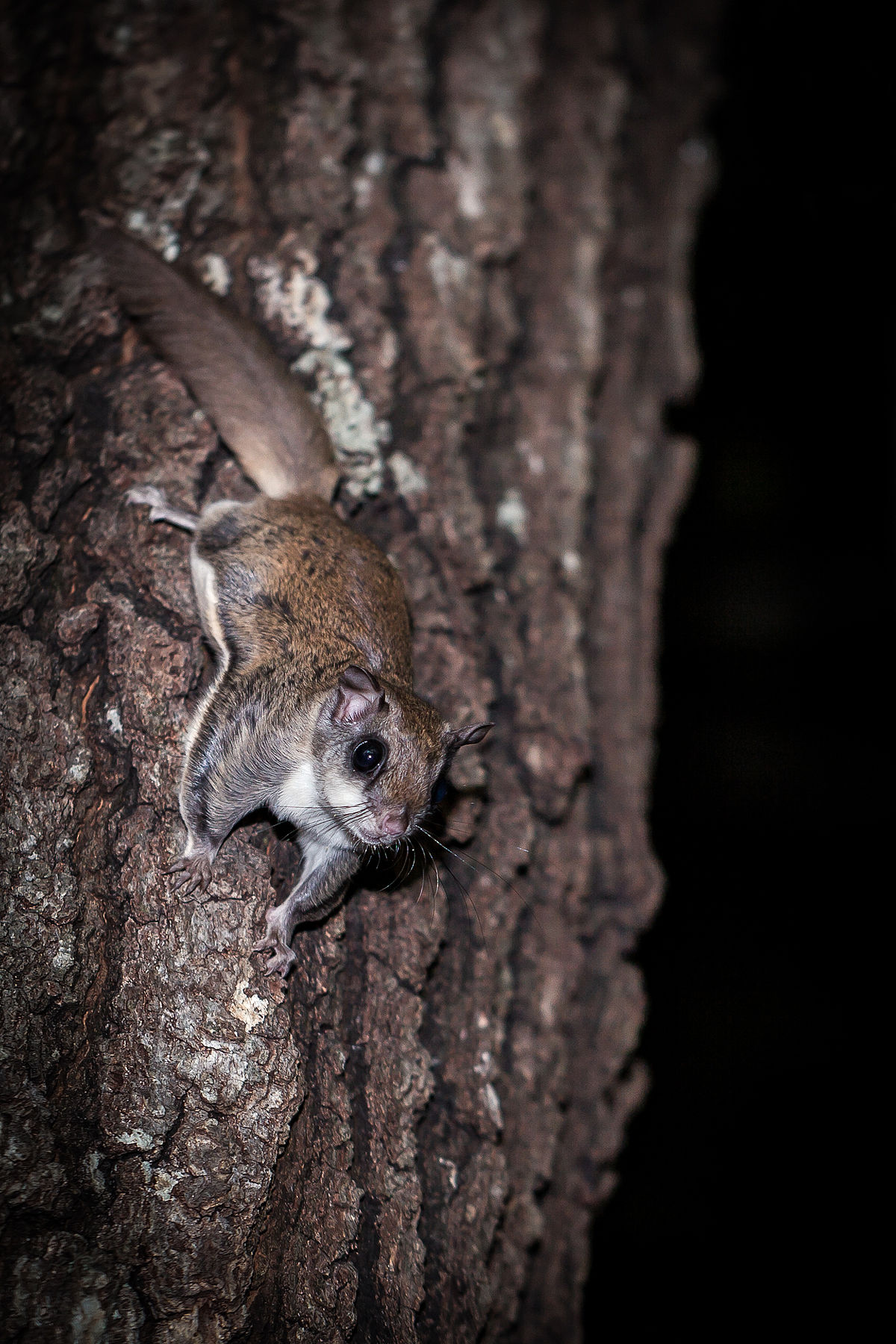 File:Southern flying squirrel.jpg - Wikimedia Commons