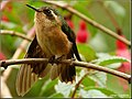 Speckled Hummingbird (Adelomyia melanogenys) 4.jpg
