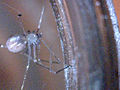 Spermophora senoculata 011819.jpg