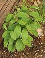 Spicebush Lindera benzoin Young Bush 1835px.jpg