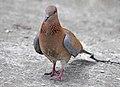 Spilopelia senegalensis - Laughing Dove - Küçük kumru 02.JPG