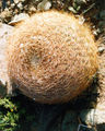 Spiny cactus ball1.jpg