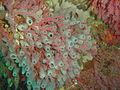 Sponge and multicolour sea fan at Bakoven Rock DSC11047.JPG