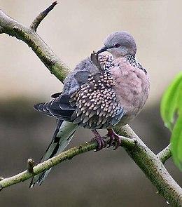Spotted Dove- Preening I- Kolkata IMG 5289