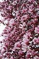 Spring-tree-flower-bloom - West Virginia - ForestWander.jpg