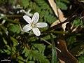 Spring Beauty (4506080381).jpg