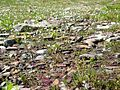 Spring Beauty (Claytonia lanceolata) in Logan Pass - Flickr - Jay Sturner (2).jpg