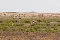 Springbok (3691769258).jpg