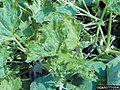 Squash mosaic virus Leaves.jpg