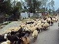 Srinagar - Sonamarg views 05.JPG