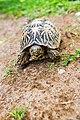 Star Tortoise (Geochelone Elegans) 05.jpg