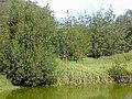 Starr-011104-0060-Rhizophora mangle-habit in canal with pickleweed-Kalepolepo-Maui (24247750250).jpg