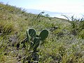 Starr-021209-0024-Opuntia ficus indica-habit-Lahaina Pali Trail-Maui (24471328481).jpg