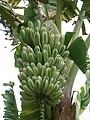 Starr-050407-6297-Musa x paradisiaca-Maoli Maia Manini Koae variegated bunch-Maui Nui Botanical Garden-Maui (24449543610).jpg