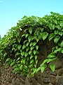 Starr-061106-9588-Dioscorea alata-habit-Maui Nui Botanical Garden-Maui (24239911794).jpg