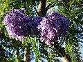 Starr-070519-7133-Jacaranda mimosifolia-flowers-Makawao-Maui (24771423512).jpg