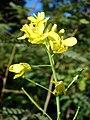 Starr-081031-0419-Brassica rapa var chinensis-flowers-Makawao-Maui (24559097559).jpg