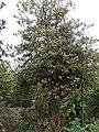 Starr-090514-7860-Ilex aquifolium-variegated leaf habit-Kula-Maui (24837354962).jpg