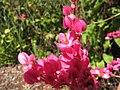 Starr-091020-8417-Antigonon leptopus-flowers-Enchanting Floral Gardens of Kula-Maui (24355951834).jpg