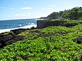 Starr-091104-0735-Scaevola taccada-habit view ocean-Kahanu Gardens NTBG Kaeleku Hana-Maui (24356900794).jpg