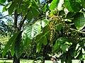 Starr-091104-0821-Aglaia saltatorum-flowers and leaves-Kahanu Gardens NTBG Kaeleku Hana-Maui (24894354621).jpg