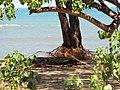 Starr-110312-3223-Thespesia populnea-after tsunami exposed roots sand swept away-Kanaha Beach-Maui (24452649523).jpg