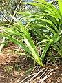 Starr-110411-4954-Dianella sandwicensis-habit form sandwicensis-Hawea Pl Olinda-Maui (24786919470).jpg