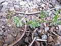 Starr-110524-5647-Vicia sativa subsp nigra-habit-Science City-Maui (25095585335).jpg