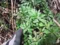Starr-120229-3041-Erigeron karvinskianus-leaves-Waikapu Valley-Maui (25136442635).jpg
