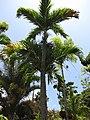 Starr-120522-6400-Veitchia merrillii-habit-Iao Tropical Gardens of Maui-Maui (25143657445).jpg