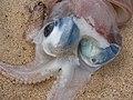 Starr-121220-9317-Cressa truxillensis-habit with giant diamondback squid Thysanoteuthis rhombus-Keanakeiki-Kahoolawe (25106142671).jpg