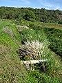 Starr-130322-3776-Zizania latifolia-habit along canal-Hanalei NWR-Kauai (24582681413).jpg