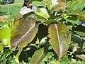 Starr-130809-2933-Pyrus communis-Cv Hood leaves-Kula-Maui (24892061929).jpg